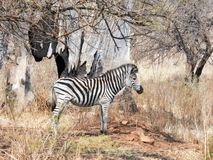 Zebra. This  zebra was photographed is  the  Rietvlei dam  reserve . Back round  also  in black  and  white Royalty Free Stock Photography