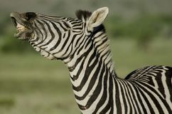 This zebra looks like he is singing the opra , look at that smile royalty free stock photos