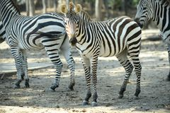 Zebra. Was watching when something is wrong stock photography