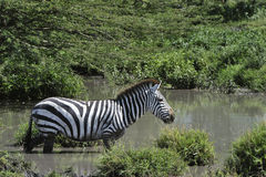 Zebra in the water. Royalty Free Stock Image