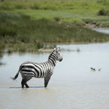Zebra in water Royalty Free Stock Photography
