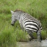Zebra in the water Stock Photo