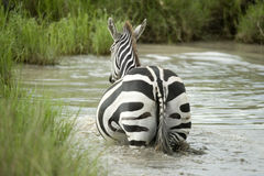 Zebra in the water Royalty Free Stock Images