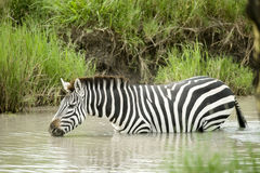Zebra in the water Royalty Free Stock Photos