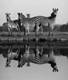 Zebra with water reflection. Herd of Zebras with a Reflection on the water Royalty Free Stock Photos