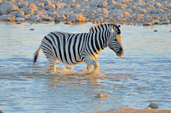 Zebra in water at sunset, Okaukeujo waterhole Royalty Free Stock Images