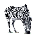 Zebra Watercolor drawing Royalty Free Stock Photo