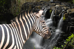 Zebra at the waterfall. Zebra standing at the waterfall side in Mauritius Stock Photos