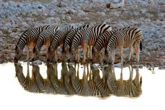 Zebra in Waterhole royalty-vrije stock fotografie
