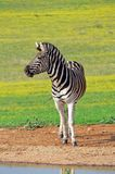 Zebra at Waterhole. In South Africa Stock Image