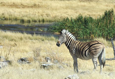 Zebra at Waterhole. A wild zebra at a waterhole in Namibia, Africa Stock Photos