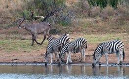 Zebra am waterhole Lizenzfreie Stockfotografie