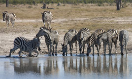 Zebra at a waterhole in Botswana. Zebra at a waterhole in the Savuti region of Botswana Royalty Free Stock Image