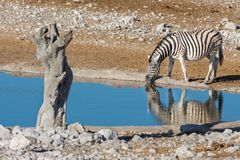 Zebra at waterhole Royalty Free Stock Images