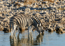 Zebra at the waterhole Royalty Free Stock Photography