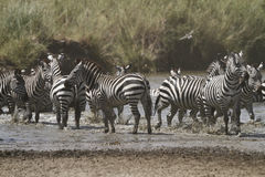 Zebra Waterhole Fun Stock Image