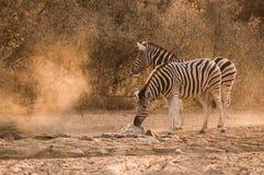 Zebra waterhole sunrise. Two Plains Zebra Equus quagga at waterhole at sunrise, Namibia royalty free stock photo