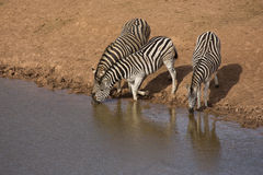 Zebra at watering hole Royalty Free Stock Images