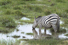 Zebra at watering point Stock Photos