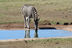 Zebra at the Wateringhole. Zebra drinking at the Wateringhole with its reflection in the water Stock Images