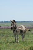 Zebra in weide in Zuid-Afrika Royalty-vrije Stock Fotografie