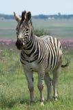 Zebra in weide in Zuid-Afrika Stock Afbeelding