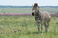Zebra in weide in Zuid-Afrika Stock Afbeeldingen