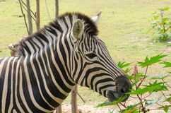 The Zebra is well known in Africa with its distinctive markings. African plains zebra on the dry brown savannah grasslands browsing and grazing Stock Image