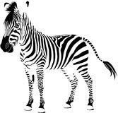 Zebra white Stock Photography