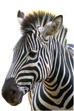 Zebra on white background Royalty Free Stock Image