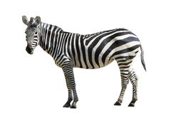 Zebra. A on white background Stock Photo