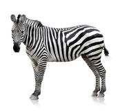 Zebra on white background Stock Photography