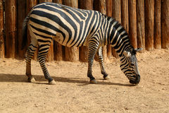 Zebra Royalty Free Stock Photos