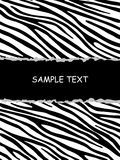 Zebra whith sample text Stock Images