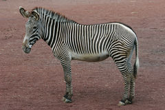 Zebra (whole) Royalty Free Stock Image