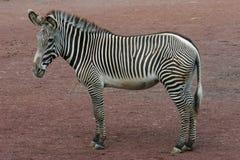 Zebra (whole) Royalty Free Stock Image