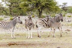 Zebra, wijfjes met veulennen Stock Afbeelding