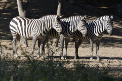 Zebra In the wild Stock Photography