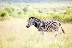 Zebra in  the wild Stock Photo