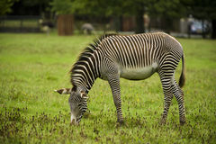 Zebra in wild. Brown zebra in animal park Stock Images