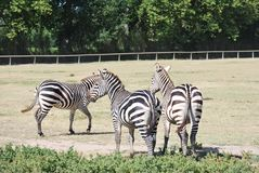 ZEBRA IN WILD AFRICAN SAFARI Stock Image