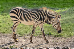 Zebra wild animal summer grass Stock Photos