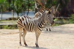 Zebra Royalty Free Stock Images
