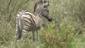 Zebra in the wild Stock Photography