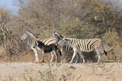 Zebra - wild lebende Tiere von Afrika - sehr seltenes schwarzes Zebra, das über gelacht wird. Lizenzfreie Stockfotografie