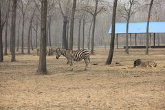 Zebra in the wild Royalty Free Stock Image