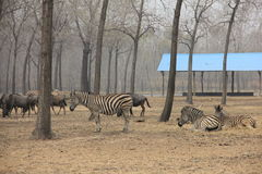 Zebra in the wild Royalty Free Stock Photography