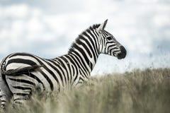 Zebra in the wild savannah, Serengeti Stock Photo