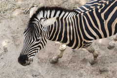 zebra. Zebra in the wild zoo Stock Photography