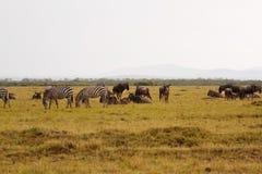 Zebra & wildbeest Stock Photo